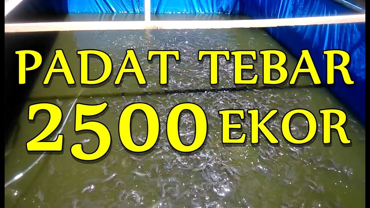 Padat Tebar 2500 Ekor Kolam Terpal 2 X 2 5 Meter Youtube