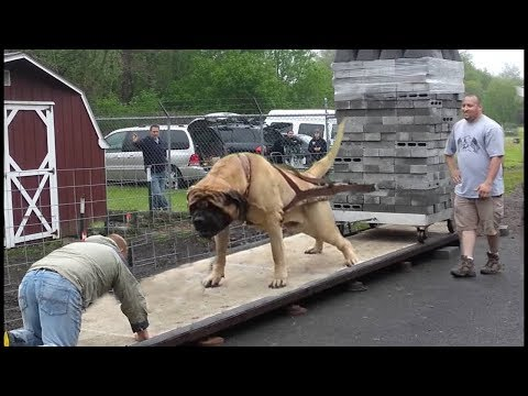 The Biggest dogs in the whole world !