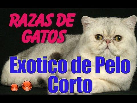 Raza de Gato Exotico de Pelo Corto - Caracteristicas del Exotico de Pelo Corto