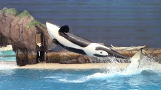First Orca Encounter at SeaWorld San Diego 5-27-17