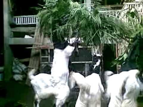 peternakan kambing pe kauman, jurangjero, karanganom, klaten om dapit