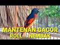 Burung Mantenan Gacor  Mp3 - Mp4 Download