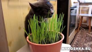 """Кошка ест """"домашнюю"""" траву под музыку"""