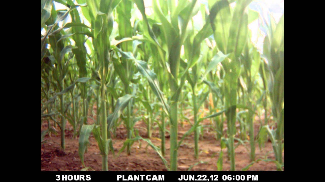 Corn Growth Timelapse