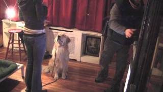 Golden Retriever: San Diego Dog Training