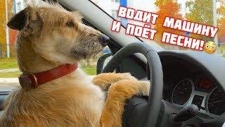 Дворняжка водит машину и поет песни!