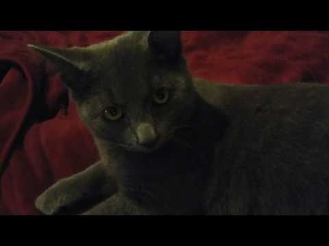 Russian Blue Kitten Purring Very Loudly