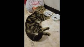 Кот ест лежа!!!