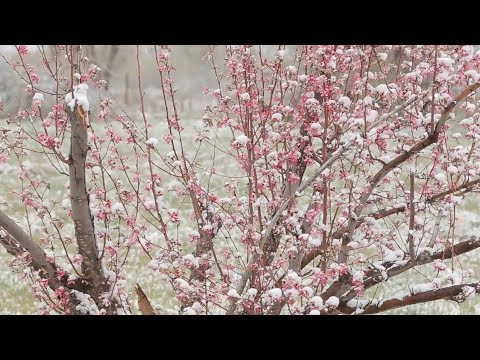Preview | Painting en Plein Air: Spring Snow & Crabapple Blossoms with Stephen Quiller