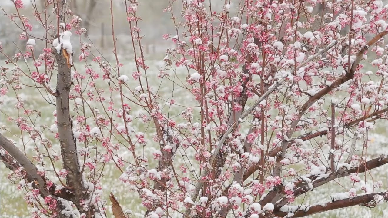 Preview Painting En Plein Air Spring Snow Crabapple Blossoms