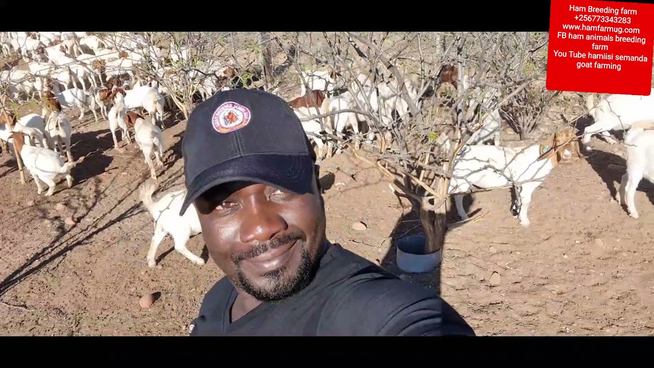 Download How South African feeds their goats for better results by an Ha