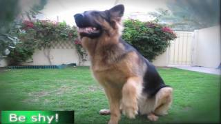 GERMAN SHEPHERD DOES MOST AMAZING DOG TRICKS!!