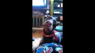 Doberman Pinscher Eating Nutella And Bananas