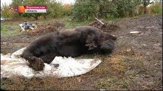 сбежавший медведь убил 87 летнего инвалида войны, но и сам был убит 9 пулями из полицейского ПМ