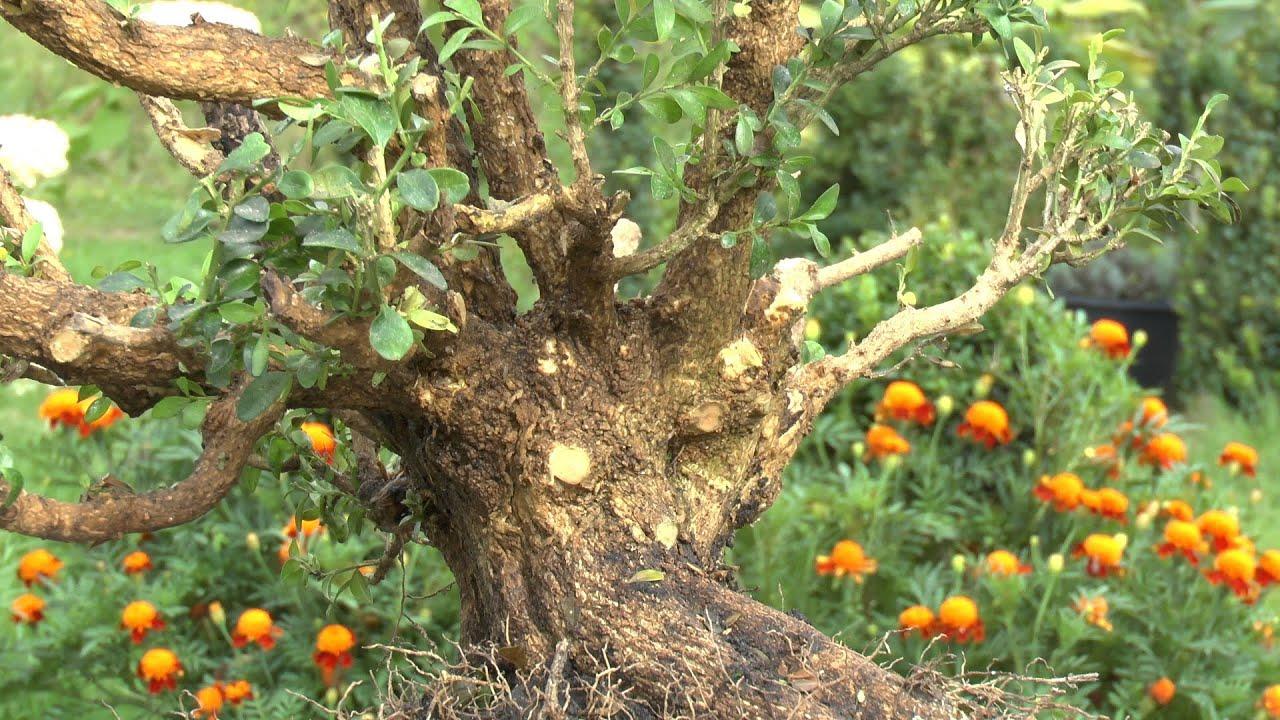 buchsbaum entwicklung zum bonsai teil 1 boxwood development for bonsai part 1 youtube. Black Bedroom Furniture Sets. Home Design Ideas