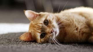 Как отучить кошку от сухого корма и приучить к домашней еде?