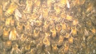 Gardening With Cody Week 8: Honey Bee Time Lapse