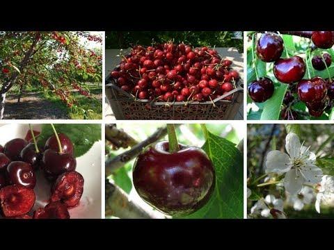 Вопрос: Какие гибриды вишни есть,с чем её скрещивают?