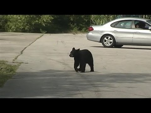 Bear Cub Strolls Dangerously Close to Day Care Center
