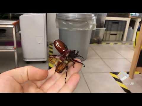 Giant Flying Beetle
