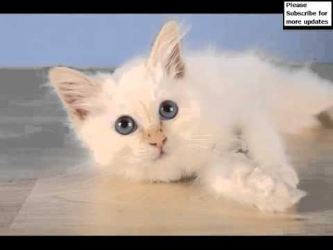 Birman Red Point | Set Of Cat Picture Collection
