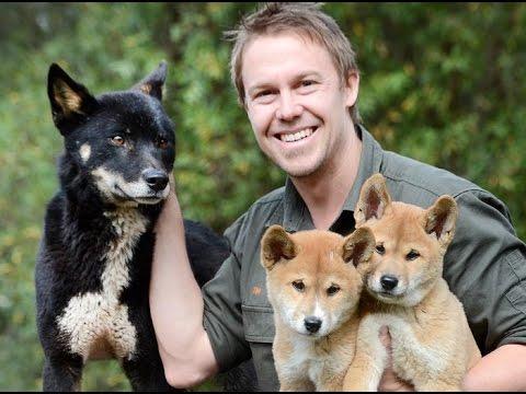 Too Cute New Dingo Pups Join Breeding Program Youtube