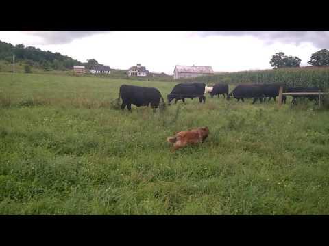 English Shepherd Herding Cows and Sheep