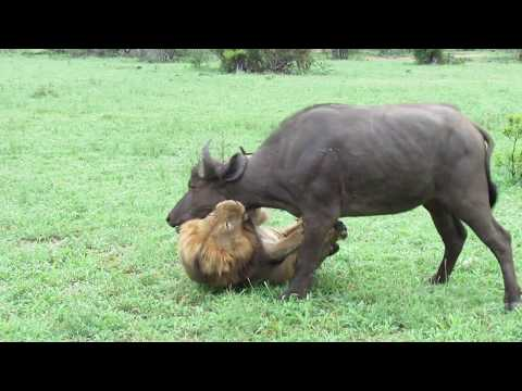 extremely-rare!!!-fearless-male-lion-attacks-buffalo-herd,-alone!!!