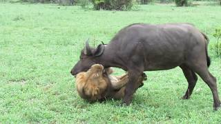EXTREMELY RARE!!! Fearless Male Lion attacks Buffalo Herd, ALONE!!! MP3
