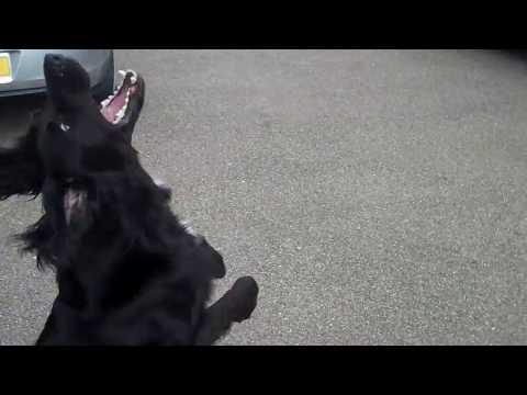 DOG TRICK TRAINING - weaving (Shadow & Harvey)