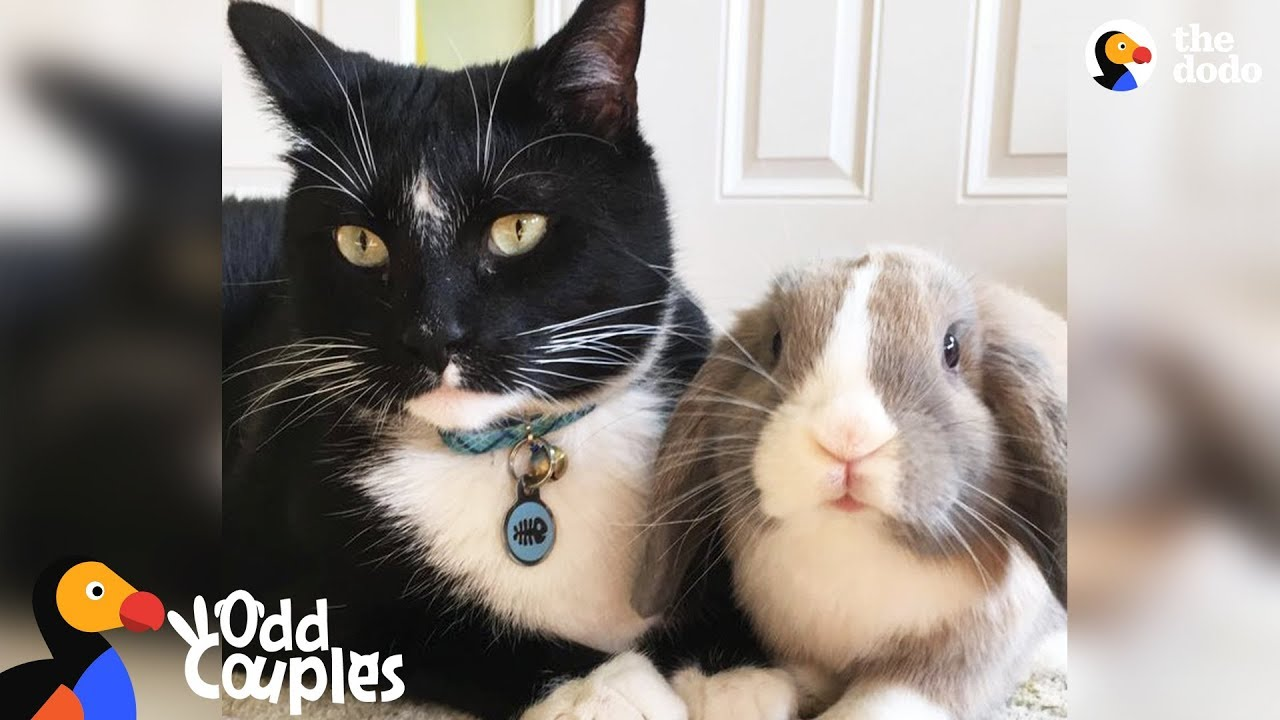 Animal Odd Couples Youtube feisty cat plays so gently with his bunny best friend | the dodo odd couples
