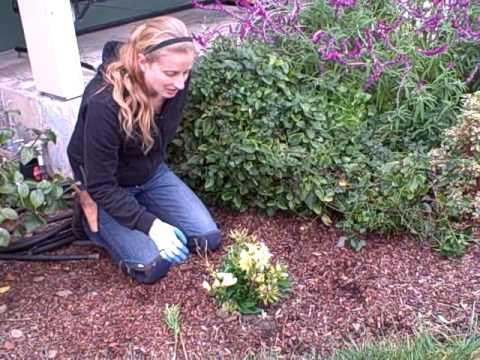 How to Prune Alstroemeria or Peruvian Lily.AVI
