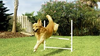 Training Your Dog Using A Petsafe Electric Dog Fence - Week 2