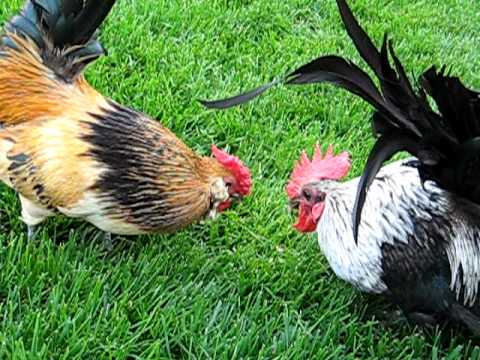 Unflinching Triumph - Rooster Style
