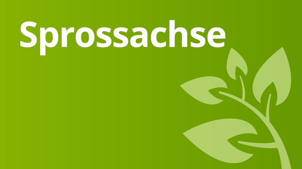 Die Sprossachse von Ein- und Zweikeimblättrigen Pflanzen | Biologie ...