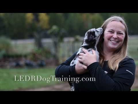 "Australian Koolie/ German Coolie 8 Week Training Video ""Whip"""