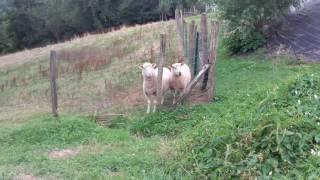 Salut les moutons, ça biche ?!