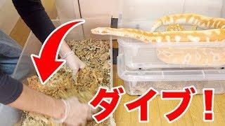 ケージの掃除中にダイブしてくる蛇がかわいすぎた thumbnail