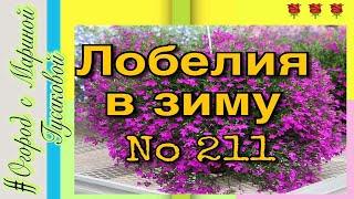 видео Лобелия (Lobelia erinus L.)