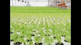 Производство салата