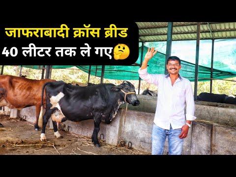 जाफराबादी क्रॉस ब्रीड गाय का फार्म आनंद गुजरात|Jafarabadi Hf Cross cow Dairy farm in Anand Gujrat