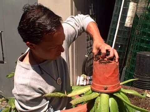My Aloe Plant had babies! Separating Japanese  Aloe Vera