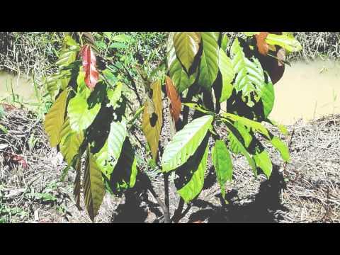 BrownLab Project Cocoa Sarawak Malaysia