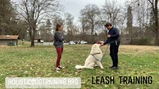 Leash Training A Great Pyrenees