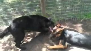The Canine Classroom - Gsd's Interacting (dominance & Submi