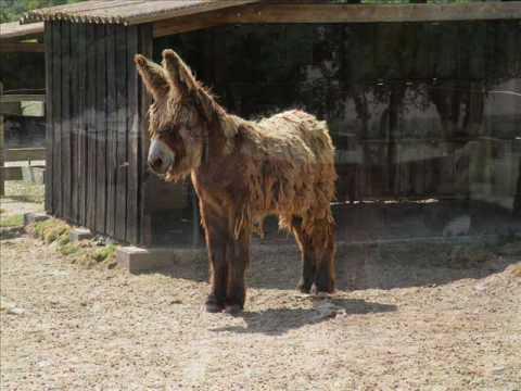 Ane Baudet le baudet du poitou, âne angora - youtube