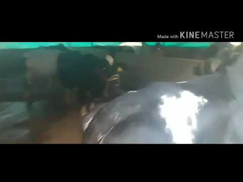 Maharaja Mix Churi The Best Cattle Feed