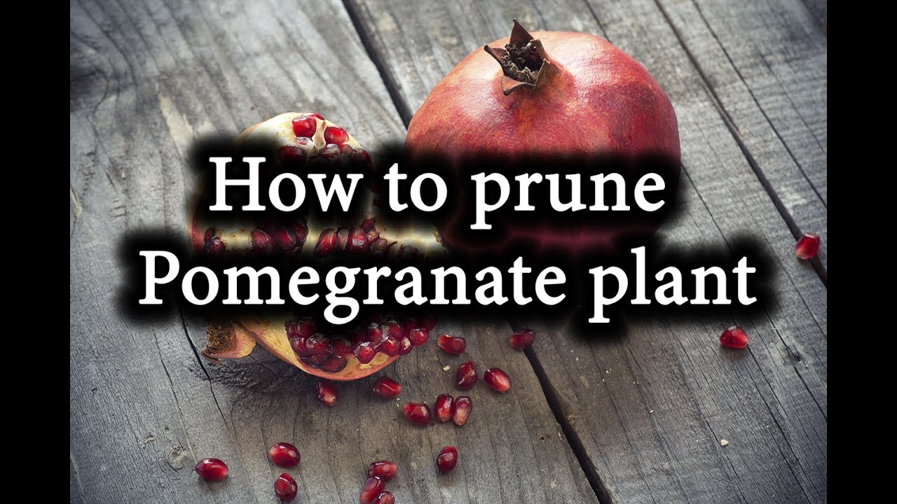 How To Form Pomegranate Bush Prune Pomegranate Tree Correctly