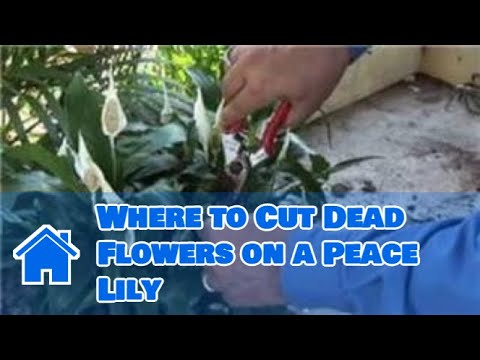 Growing Lilies : Where To Cut Dead Flowers On A Peace Lily - Youtube