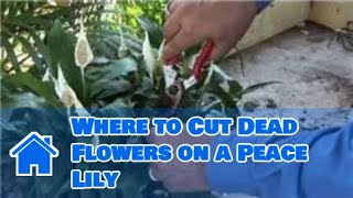 Growing Lilies : Where To Cut Dead Flowers On A Peace Lily